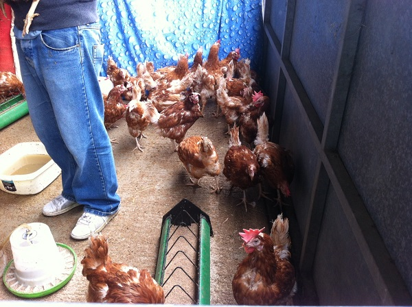 The rescue hens waiting to be given to their new owners