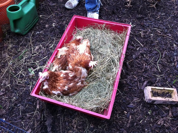 new hens 7