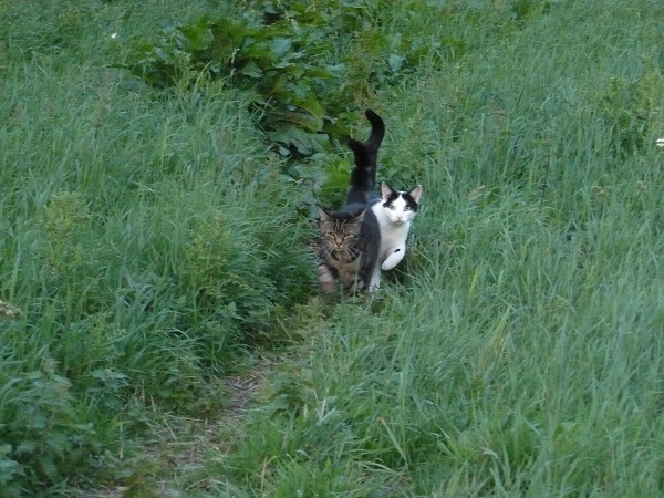 Two of our cats on a walk with us. Yes that's right our cats will follow us on walks just like 'dog dogs'